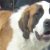 Pixie the Saint Bernard Needs Knee Surgery
